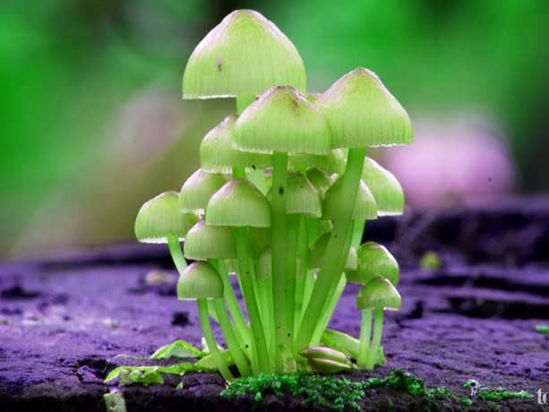 псилоцибиновые грибы